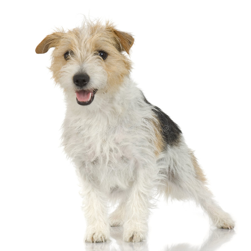 Jack russell long haired stock photo image of small for Jack russel pelo lungo