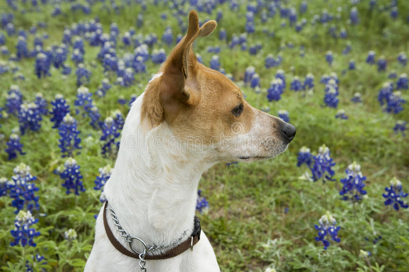 Download Jack Russell Mix And Bluebonnets Stock Photo - Image: 20619000