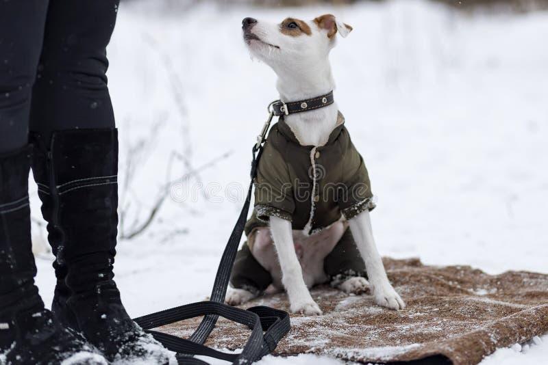 Download Jack Russell Na Roupa Do Inverno Foto de Stock - Imagem de afortunado, pouco: 107526184