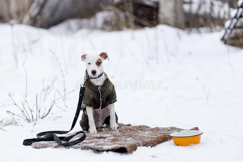 Download Jack Russell Na Roupa Do Inverno Imagem de Stock - Imagem de vestido, retrato: 107526239