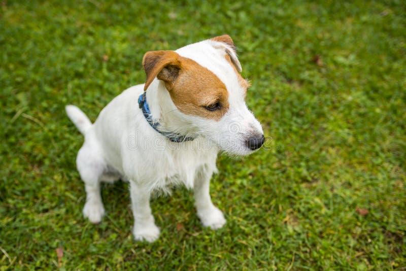 Jack Russell Parson Terrier stockfotografie