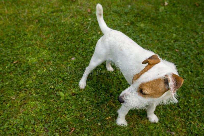 Jack Russell Parson Terrier lizenzfreies stockbild