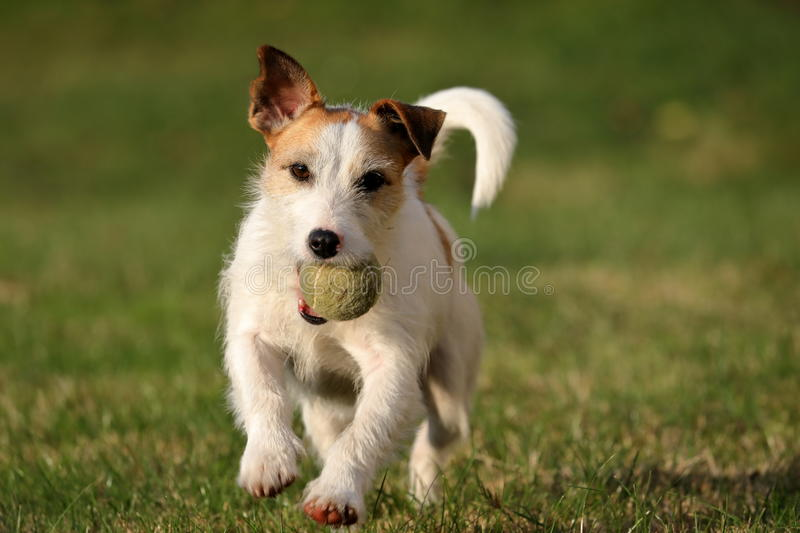 Jack Russell Parson Terrier royalty-vrije stock foto