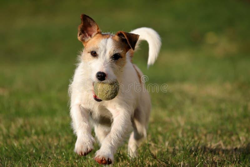 Jack Russell Parson Terrier lizenzfreies stockfoto