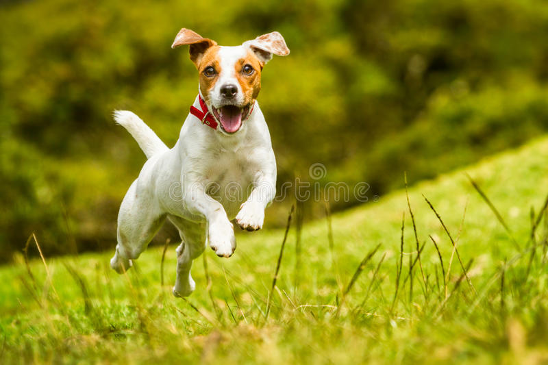 Jack Russell Parson Terrier Dog immagine stock