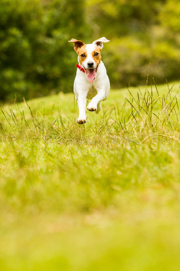 Jack Russell Parson Terrier Dog arkivfoton