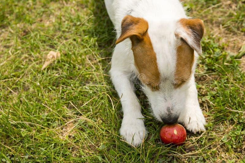 Jack Russell Parson Terrier Dog, der draußen mit Apfelspielzeug auf grünem Gras spielt stockfoto