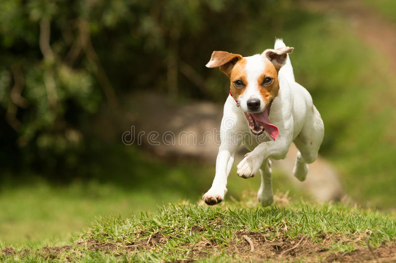 Jack Russell Parson Terrier Dog royalty free stock photography