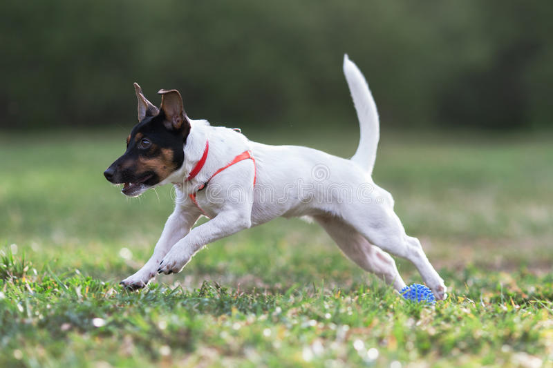 JACK RUSSELL PARSON TERRIER RUNNING in park stock image