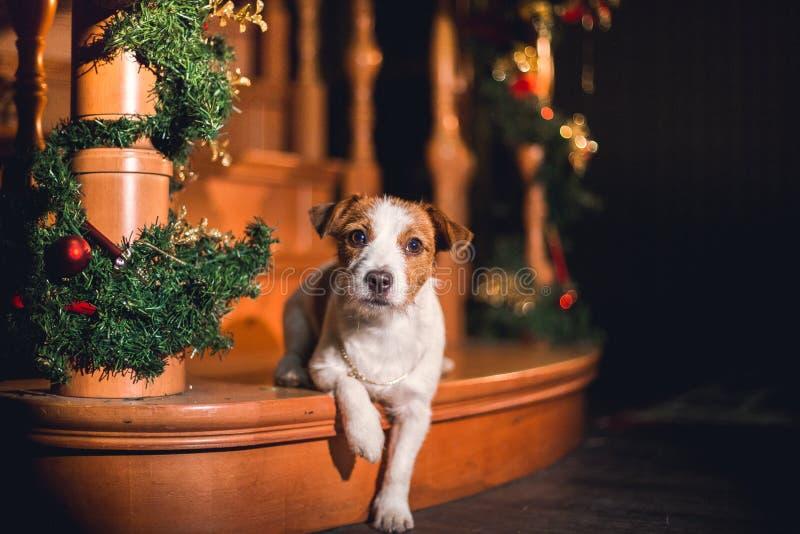 Jack Russell pies przy bożymi narodzeniami zdjęcia stock