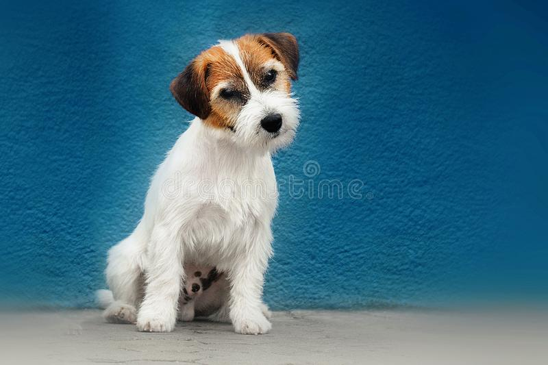 Jack russell portrait royalty free stock images