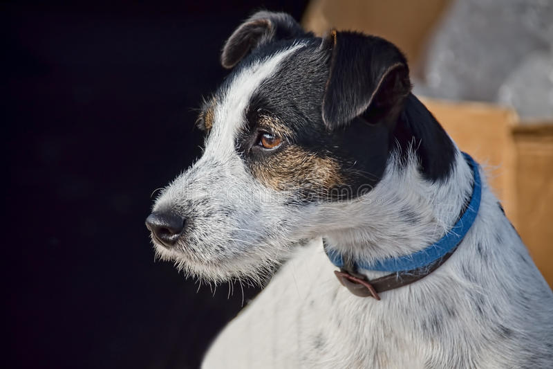 Jack Russell Profile images stock