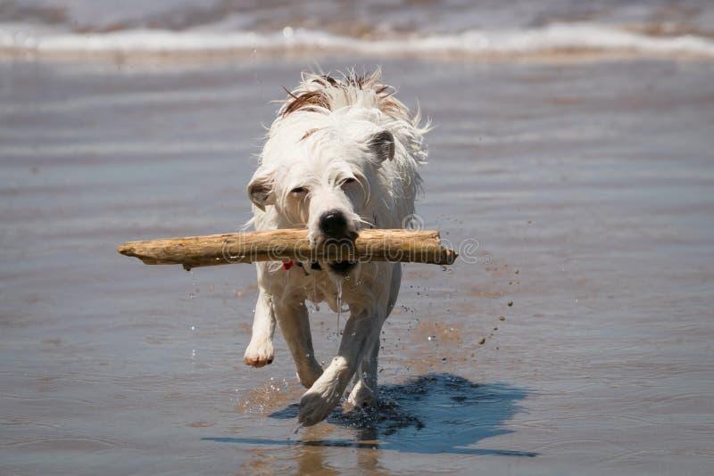 Jack Russell psia cieszy się zabawa przynosi kij w fala przy plażą fotografia royalty free