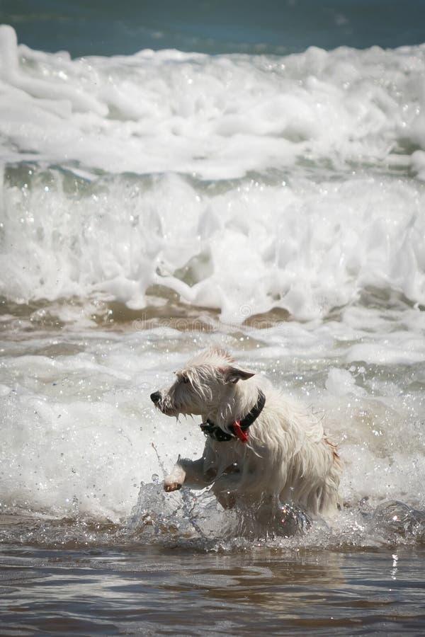 Jack Russell psia cieszy się zabawa w fala przy plażą zdjęcia stock