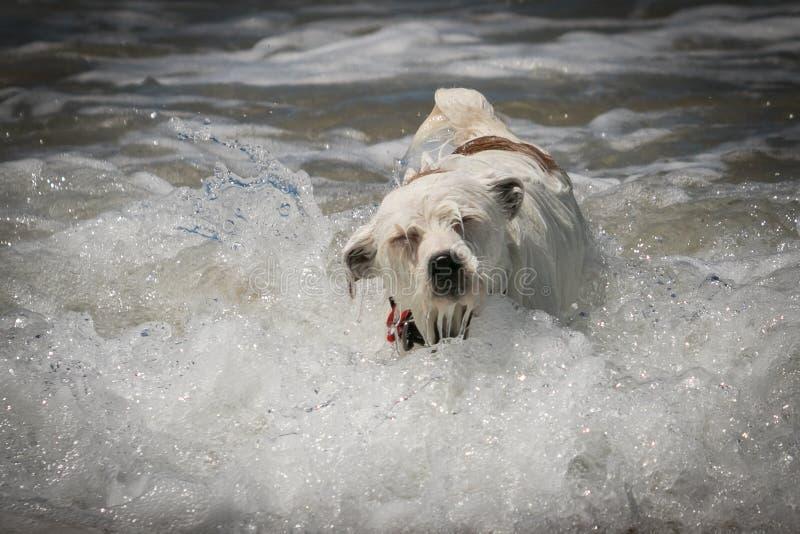 Jack Russell psia cieszy się zabawa w fala przy plażą obrazy stock