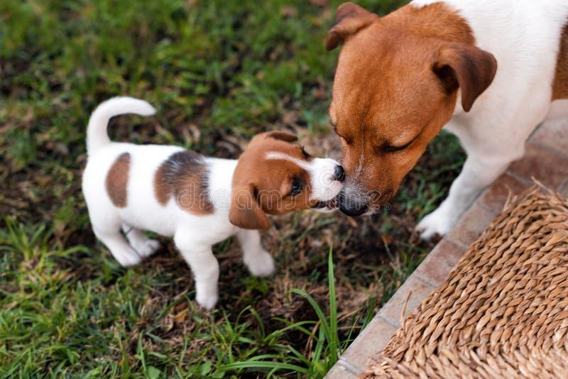 Jack Russell psy bawić się na trawy łące Szczeniaka i dorosłego psi outside w parku, lato obraz royalty free