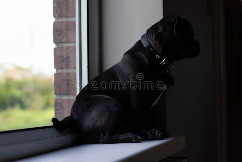 Jack Russell Pug op venster wordt gezeten dat stock foto