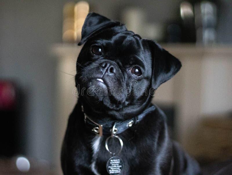 Jack Russell Pug Tilting Head arkivfoton