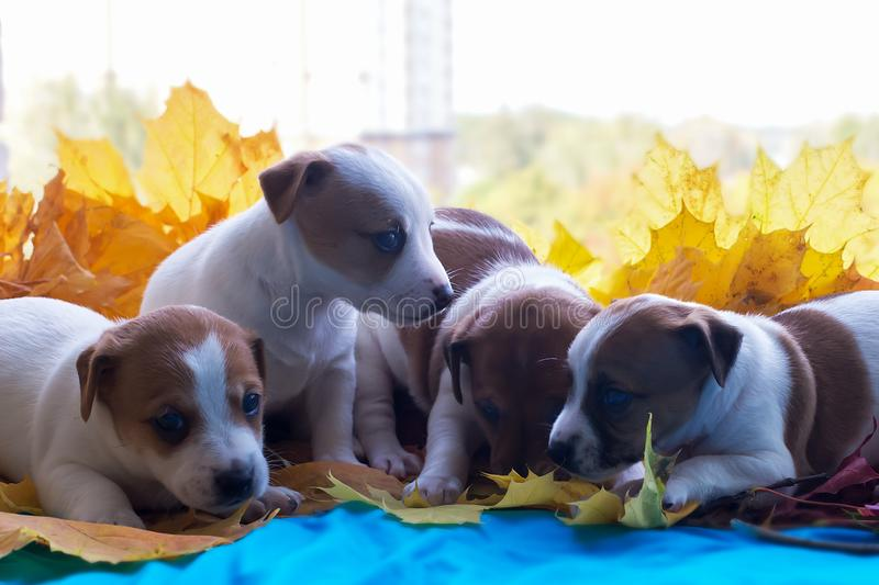 Jack Russell puppies in autumn leaves. The Jack Russell puppies in autumn leaves royalty free stock photo
