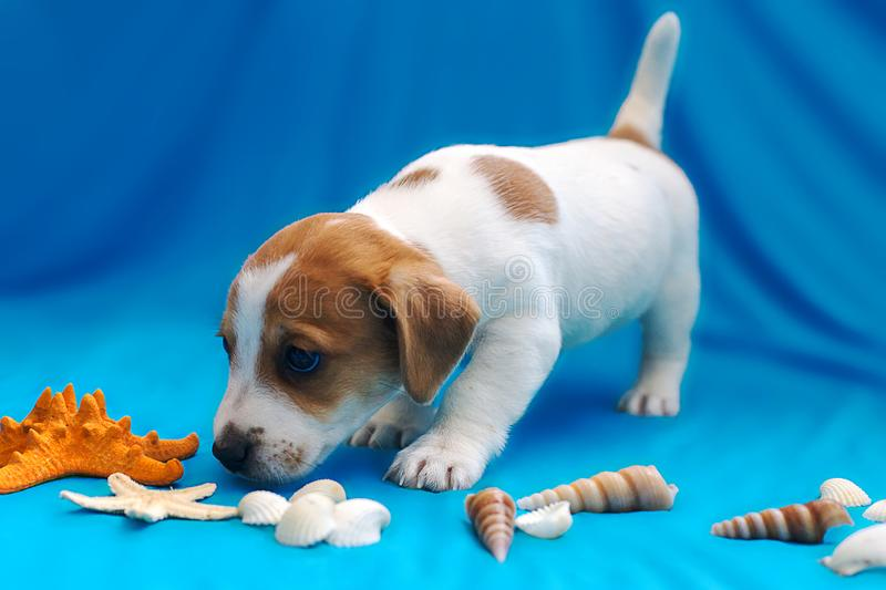 Jack Russell puppies on blue background. The Jack Russell puppies on blue background stock image