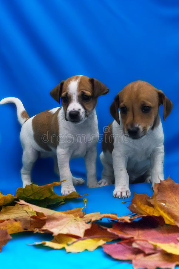 Jack Russell puppies on a blue background in autumn foliage. The Jack Russell puppies on a blue background in autumn foliage stock photo