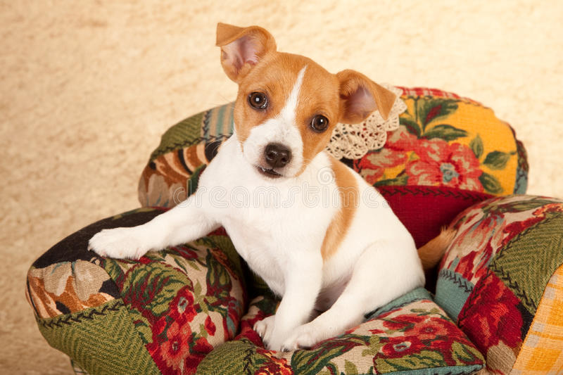 Download Jack Russell Puppy In Chair Stock Photo - Image: 28076606
