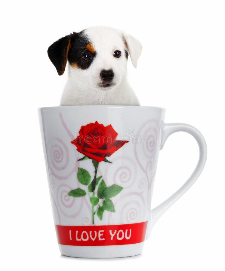 Jack Russell-puppy in de kop stock afbeeldingen