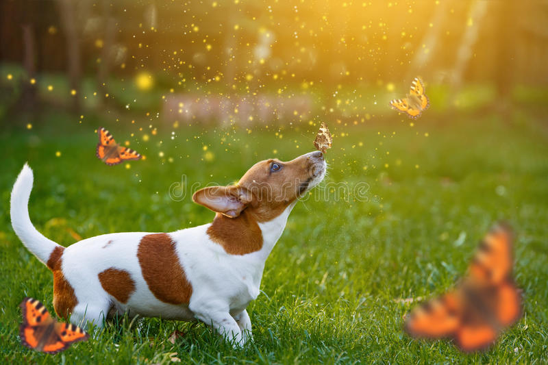 Jack russell puppy dog with butterfly on his nose. stock images