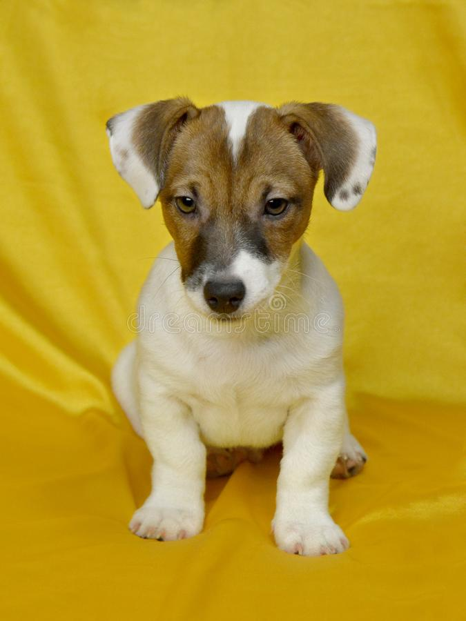 Jack Russell puppy dog sitting on yellow silk. Jack Russell puppy dog. Front view. Puppy sitting on yellow silk stock images