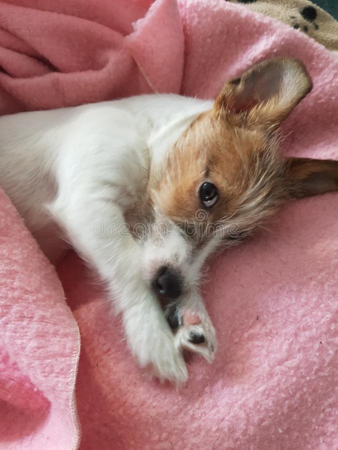 Jack Russell Puppy In Her New Pink Blanket stock images