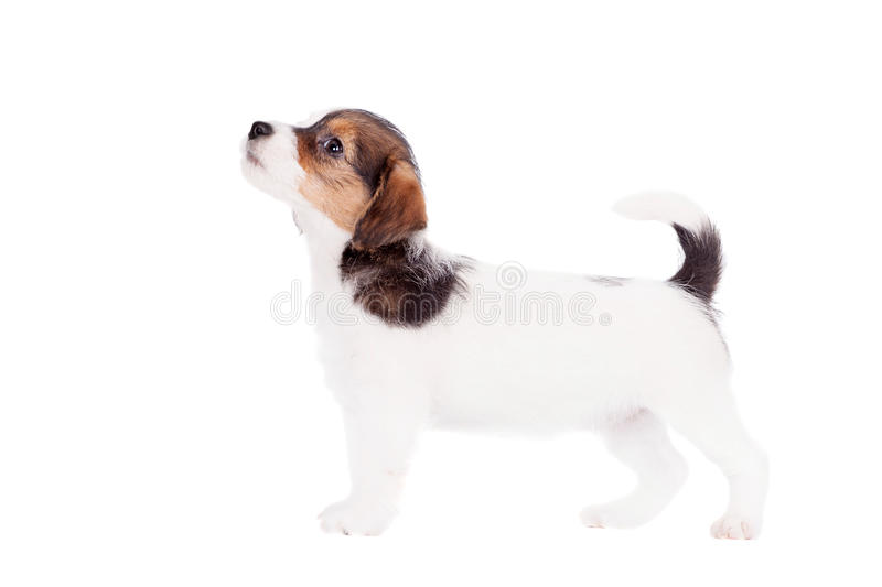 Jack Russell puppy (1,5 month old) on white. Jack Russell puppy (1,5 month old) isolated on white royalty free stock image