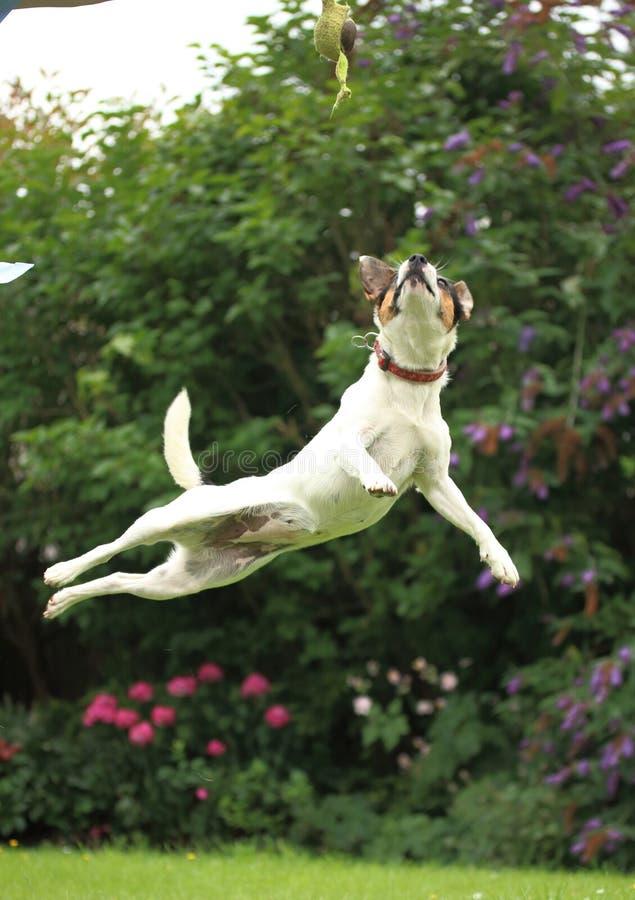Jack Russell Puppy que salta muy arriba en el jardín imagen de archivo libre de regalías