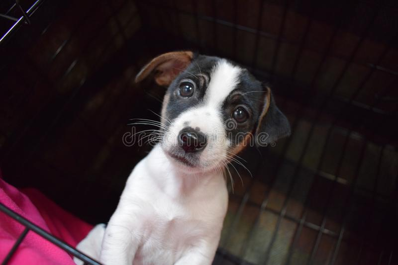 Jack Russell puppy stock images