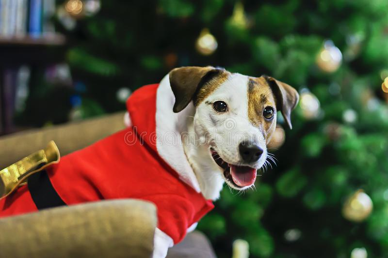 Jack Russell in Santa Claus costume stock photos
