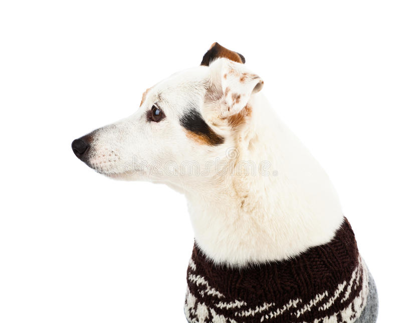 Download Jack Russell Sitting With Sweater Stock Image - Image: 28797803