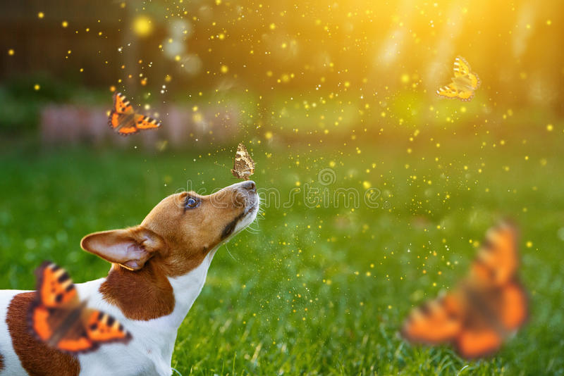 Jack Russell szczeniaka pies z motylem na jego nosie fotografia stock