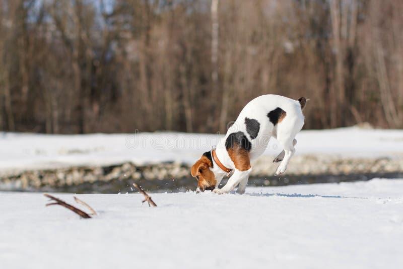 Jack Russell-terriër het spelen in sneeuw op zonnige dag, het graven en het springen, haar benen in de lucht royalty-vrije stock afbeeldingen