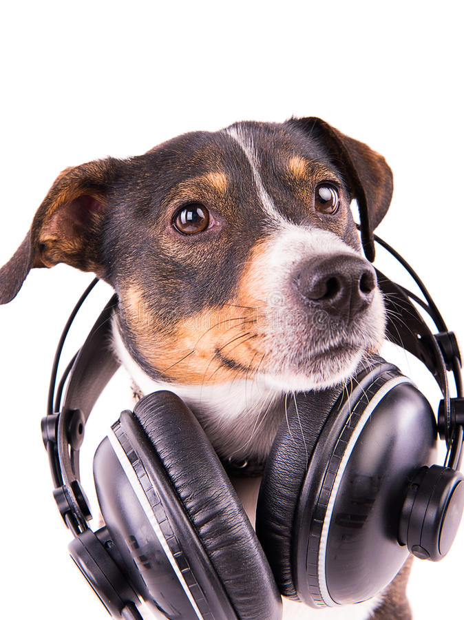 Jack Russell-terriër met hoofdtelefoons op een witte achtergrond stock fotografie
