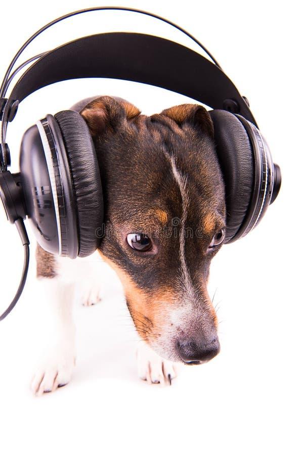 Jack Russell-terriër met hoofdtelefoons op een witte achtergrond stock foto's