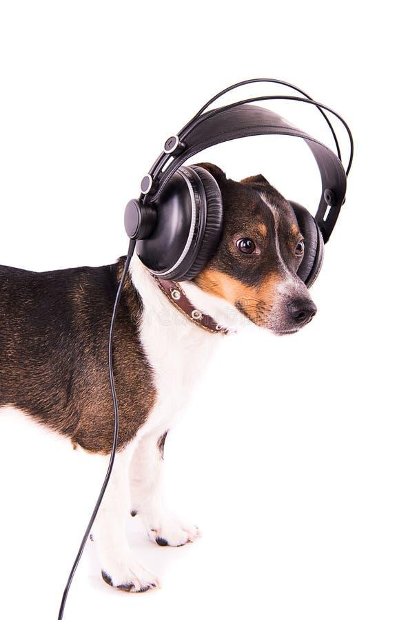 Jack Russell-terriër met hoofdtelefoons op een witte achtergrond stock afbeelding