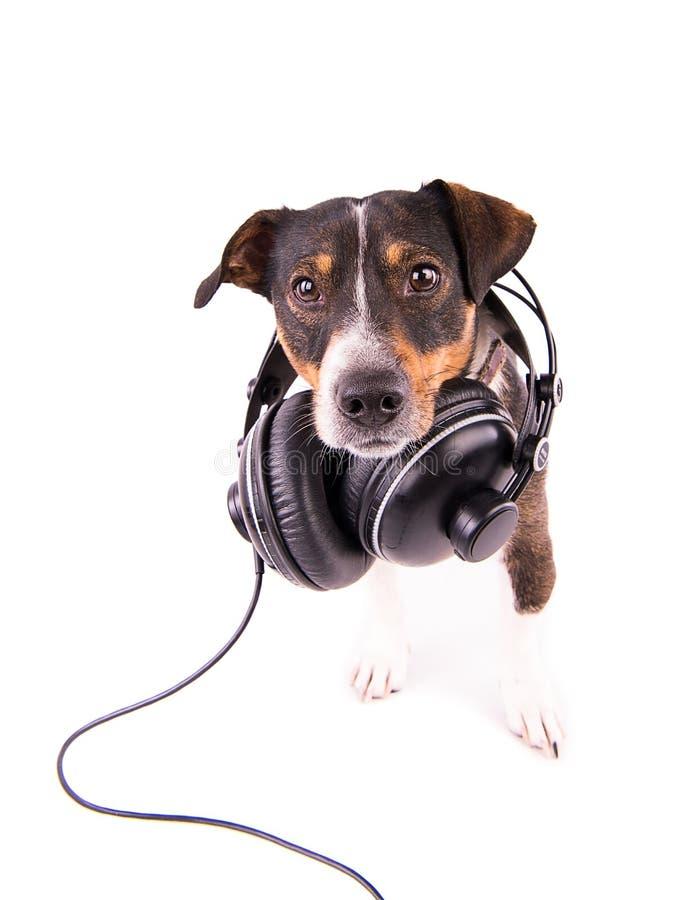 Jack Russell-terriër met hoofdtelefoons op een witte achtergrond stock foto