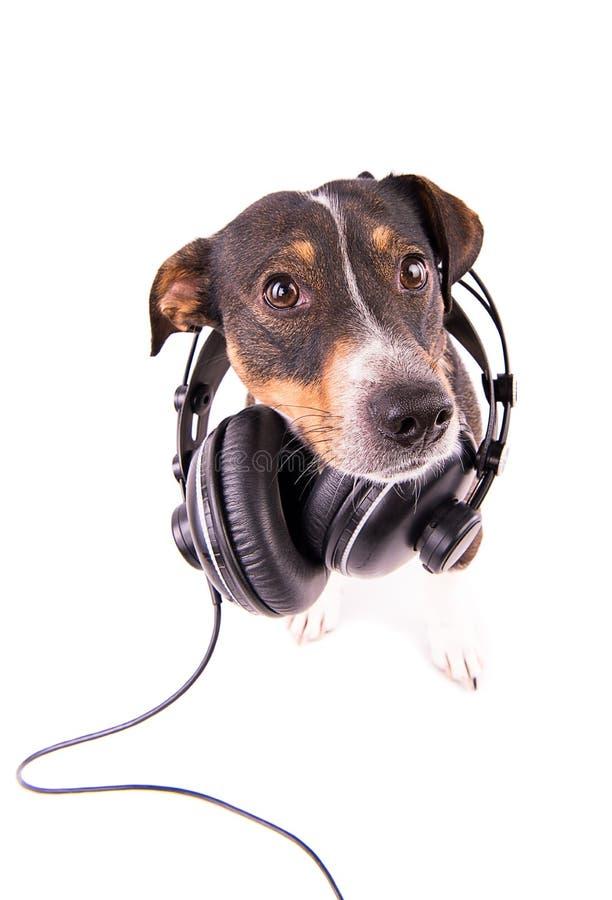 Jack Russell-terriër met hoofdtelefoons op een witte achtergrond royalty-vrije stock afbeeldingen