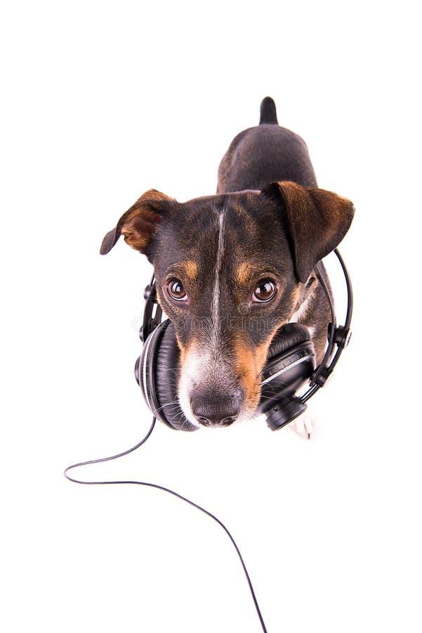 Jack Russell-terriër met hoofdtelefoons op een witte achtergrond royalty-vrije stock afbeelding
