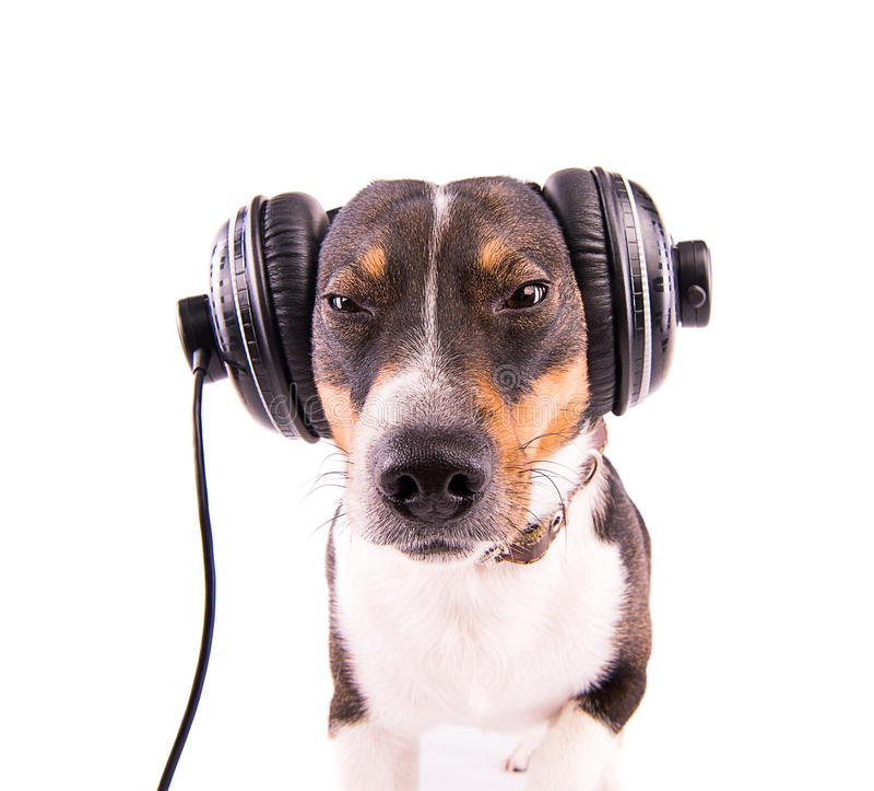 Jack Russell-terriër met hoofdtelefoons op een witte achtergrond stock afbeeldingen