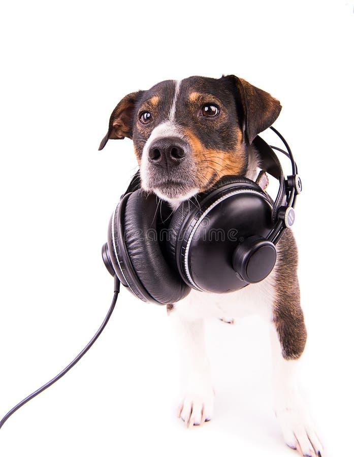 Jack Russell-terriër met hoofdtelefoons op een witte achtergrond royalty-vrije stock foto's