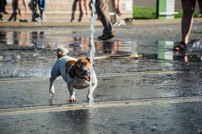 Jack Russell terriërhond het spelen met de fontein van de waterstraal in park royalty-vrije stock afbeeldingen