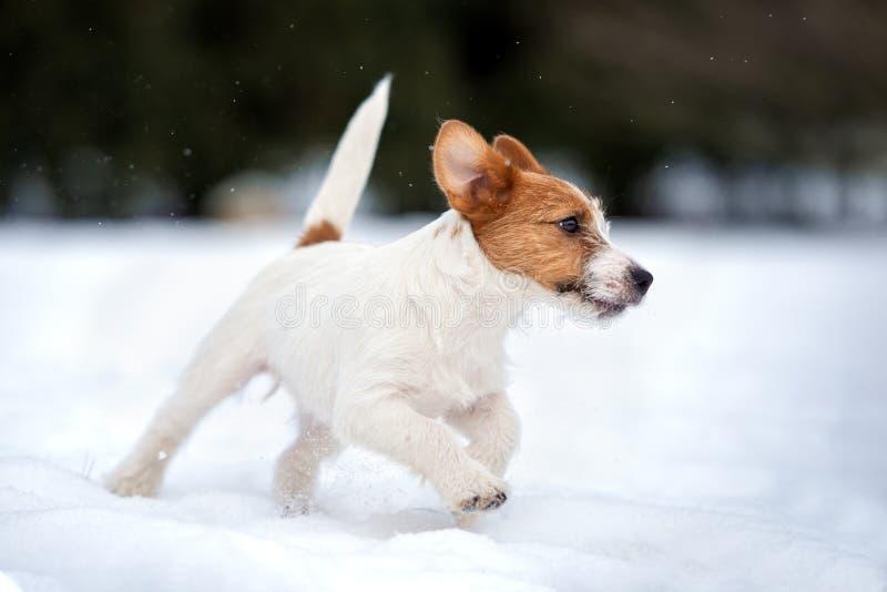 Jack Russell terriërpuppy het spelen in openlucht in de winter royalty-vrije stock afbeeldingen