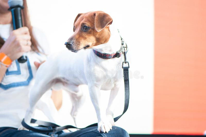 Jack Russell Terrier à l'exposition canine, une exposition images libres de droits