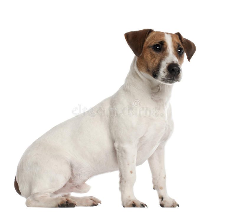 Jack Russell Terrier, 1 year old