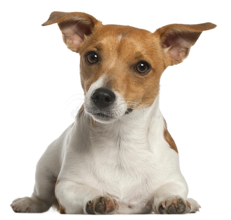 Jack Russell Terrier, 10 months old, lying